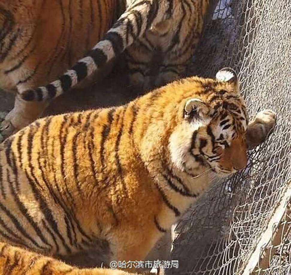Obese Siberian Tigers In China Zoo Raise Giggles But Also Health