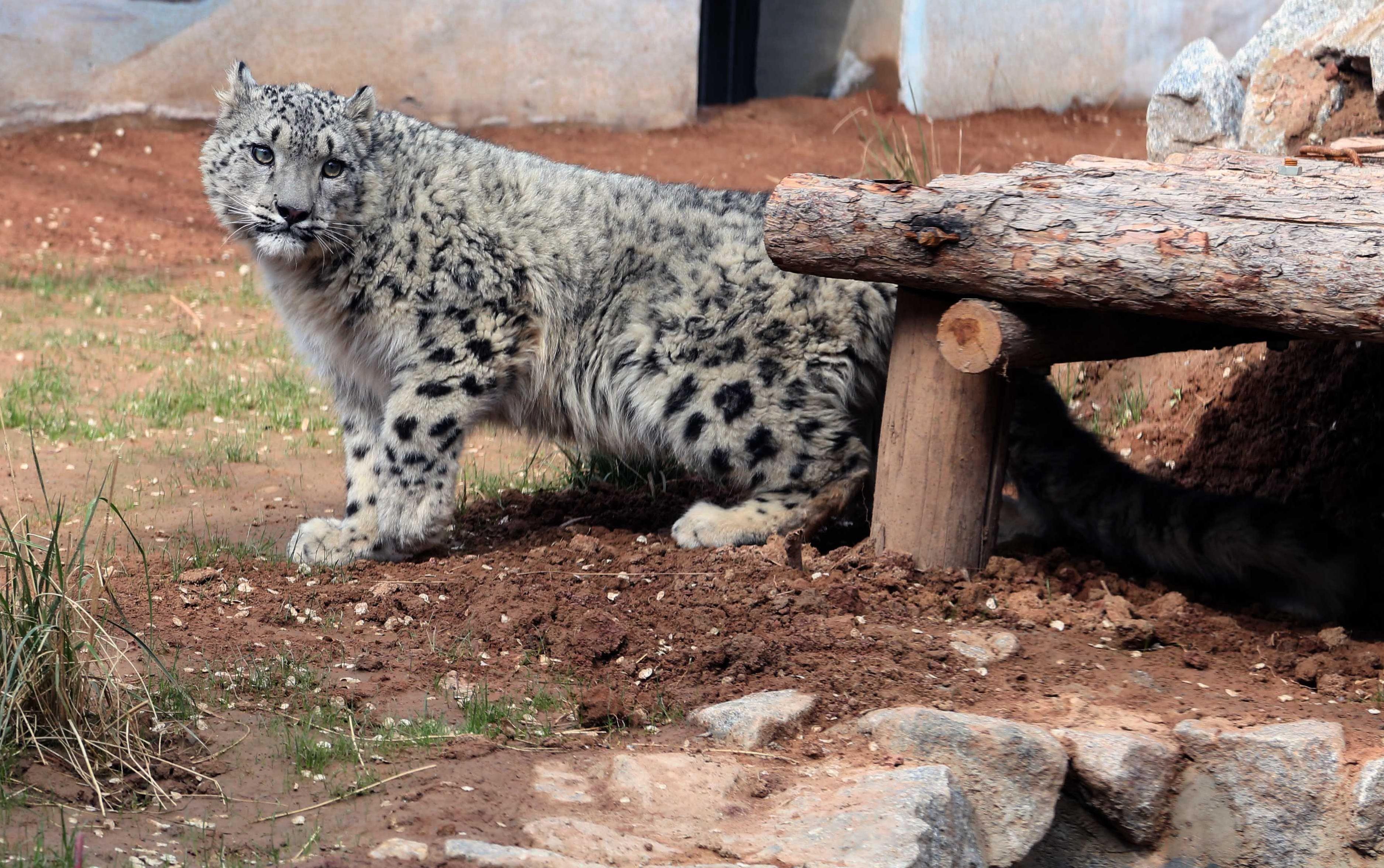 Snow leopard census: now it is off endangered species list
