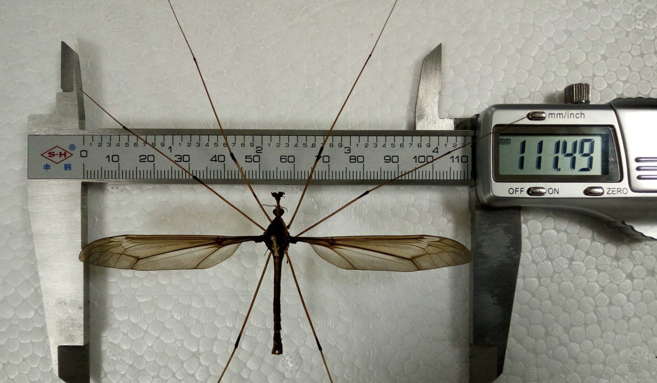Worlds Biggest Mosquito With 11cm Wing Span Found In Southwest Home Search Results For Quotmosquito Repeller Circuitquot A Body Length Of 5cm And 1115cm The Insect Is 10 Times Longer Than Average Photo Xinhua