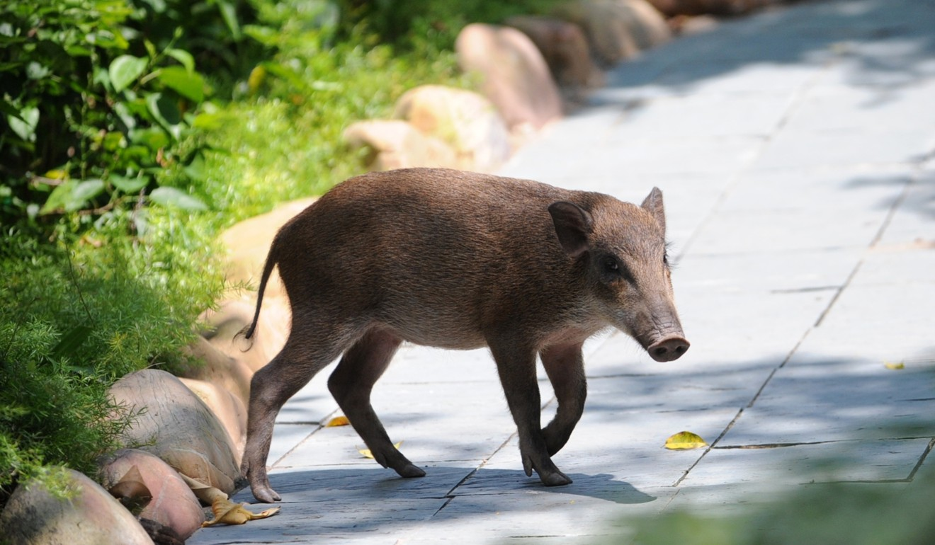 Don't feed the animals: councillor says Hong Kong's wild pig problem