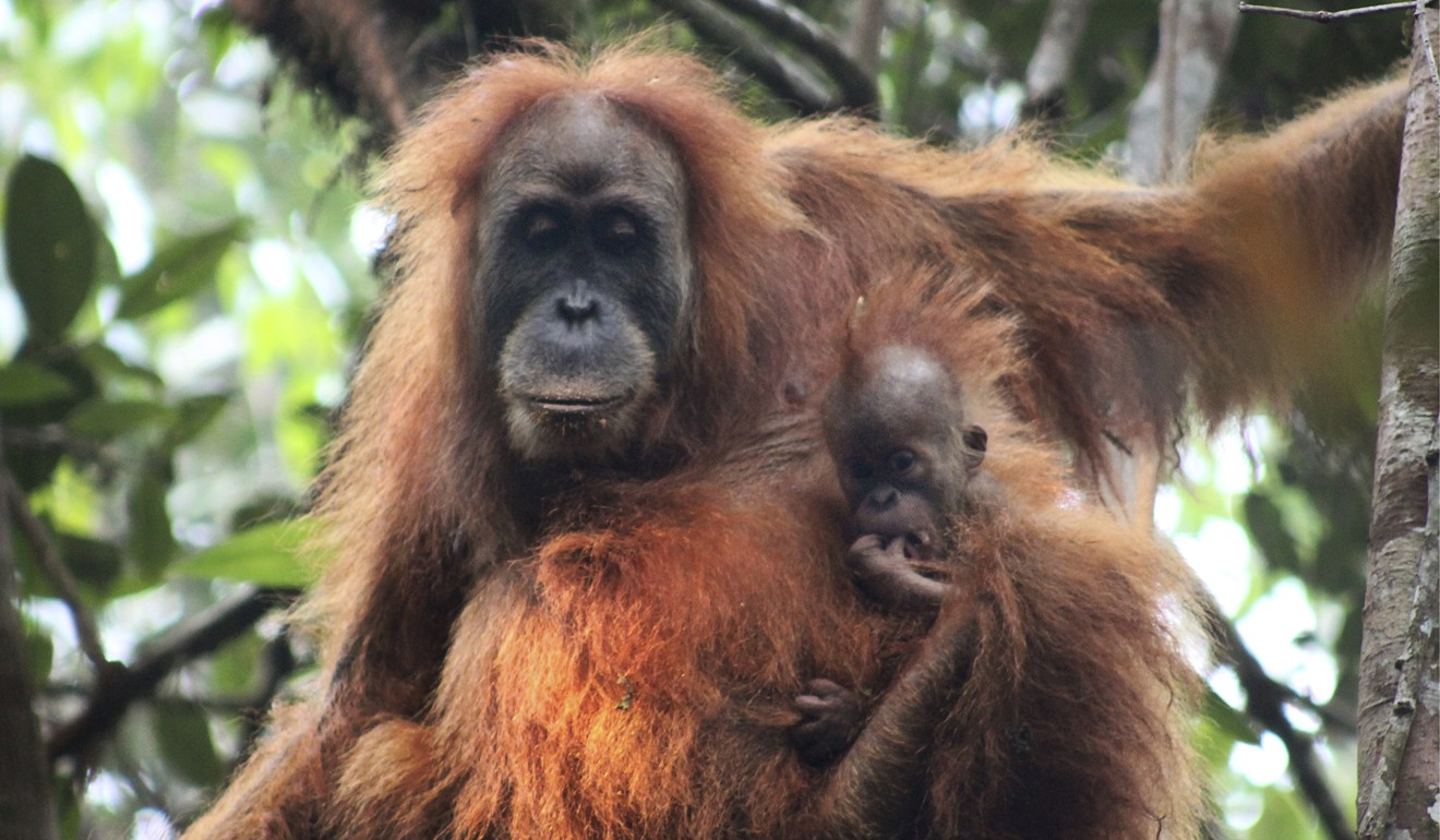 Scientists believe no more than 800 of the Pongo tapanuliensis exist, making it the most endangered great ape species. Photo: AP