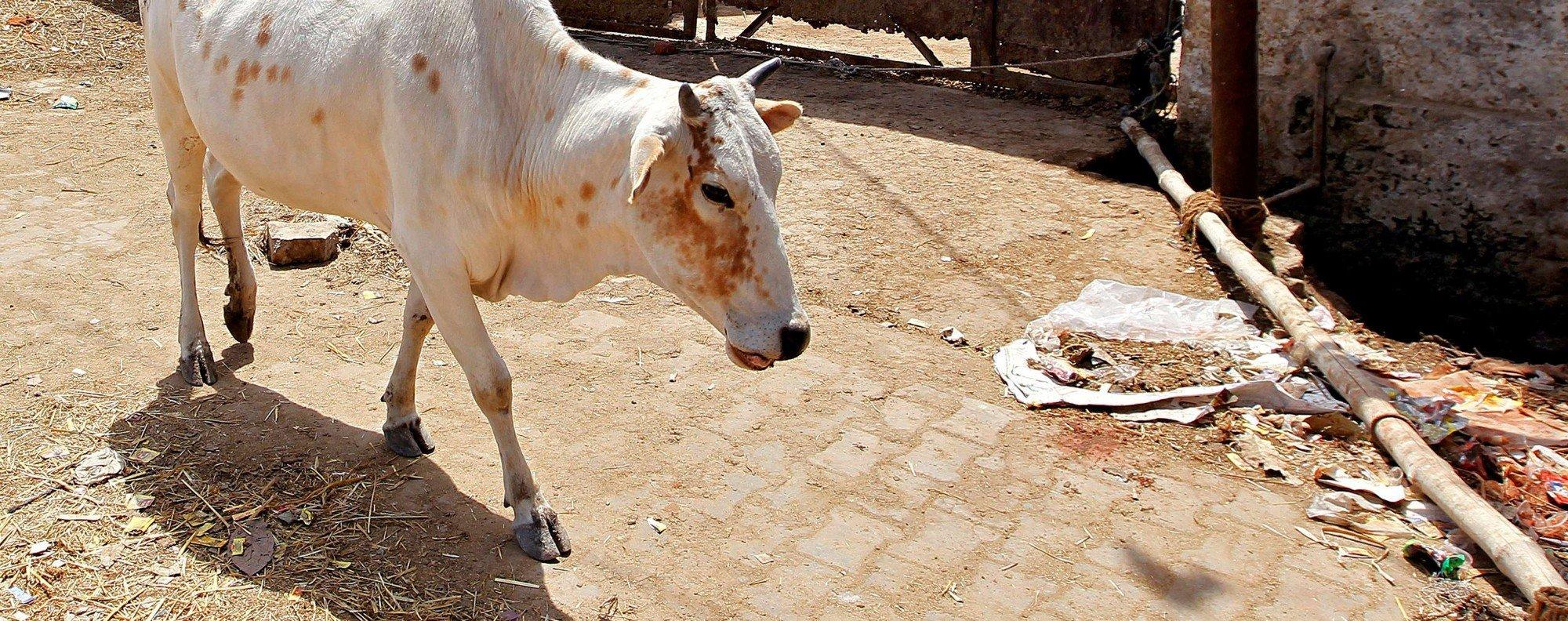 A cow walks past a closed slaughterhouse. Photo: Reuters