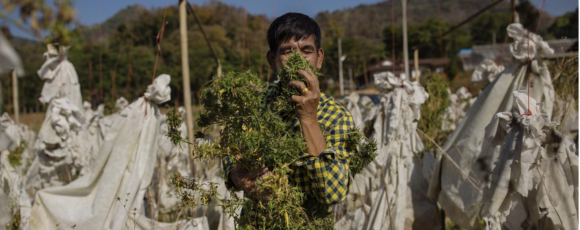 Buntoon Niyamapha examines cannabis plants outside Chiang Mai, Thailand. Picture: Jonas Gratzer