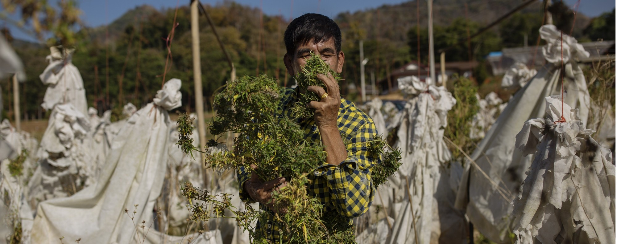 Could Thailand, which gave world the bong, legalise cannabis for ...