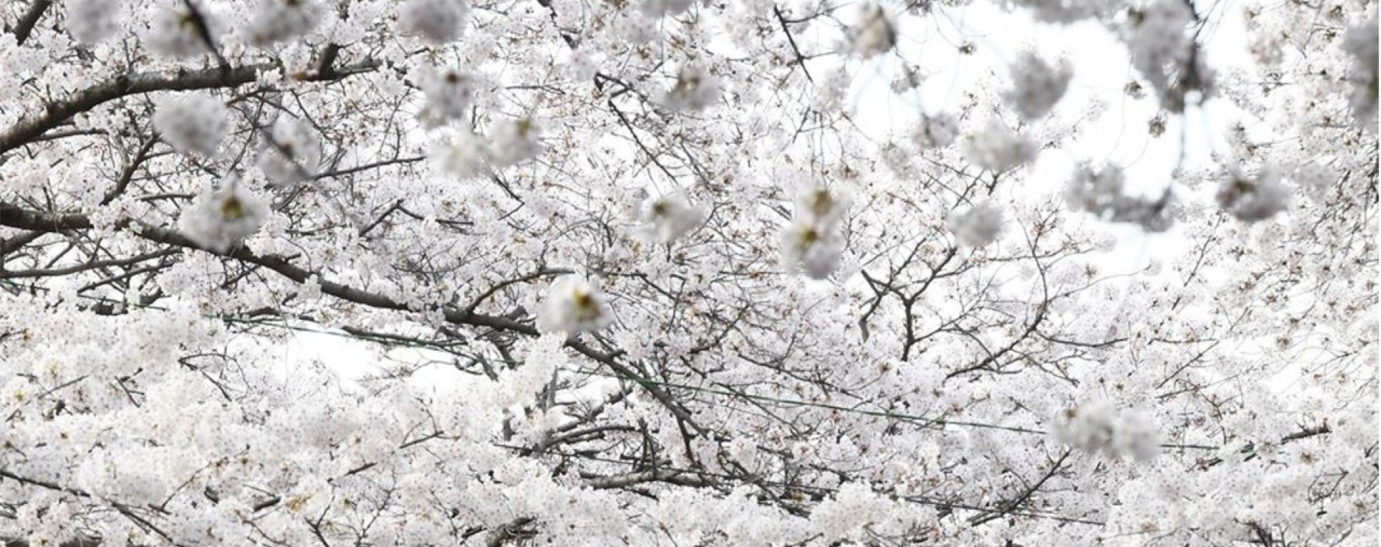 South Koreas Biggest Cherry Blossom Festival Is In Full Bloom