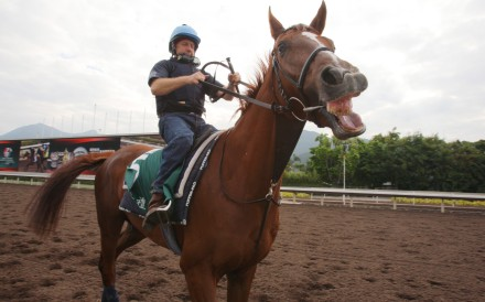 Red Cadeaux on the Sha Tin all-weather track before his first tilt at the Hong Kong Vase in 2011. Photo: Kenneth Chan