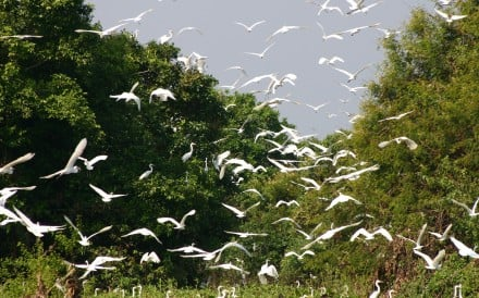 Winging it: egrets take flight in a Cambodian wetland. Photo: Kimshi/Nick Butler