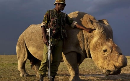 Sudan, the last male northern white rhino, is kept under 24-hour armed guard. Photo: Ben Stirton