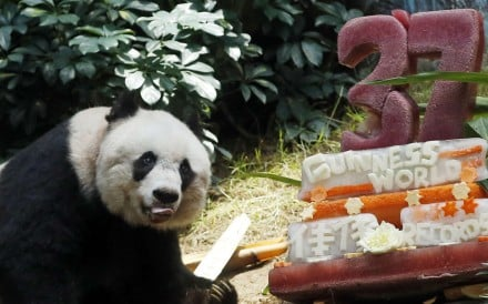 Jia Jia with a birthday cake marking both her 37th birthday and her entry into the Guinness Book of Records as the oldest panda living in captivity, on July 28, 2015. Picture: AP