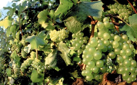 Chenin blanc grapes at a South African vineyard. Picture: Alamy