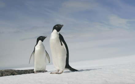 A pair of Adelie penguins are pictured at Cape Denison, Commonwealth Bay, East Antarctica, in this 2009 file photo. Photo: Reuters