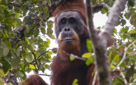 ● Dam site is the only known habitat of orangutan species that numbers about 800                                       ● Sinohydro, which built Three Gorges Dam, awarded design and construction contract