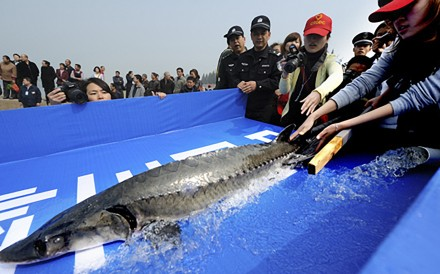 Volunteers release a Chinese sturgeon into a section of the Yangtze River in Yichang, Hubei province. Photo: China Daily