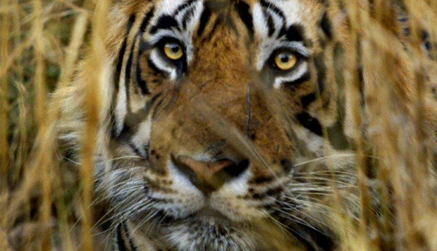 Losing battle to save India's tiger from poachers who sell body parts to China