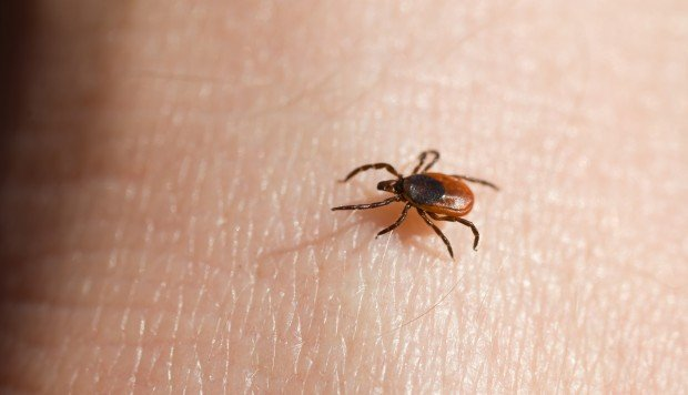 A World First Japanese Woman Dies From Tick Disease After