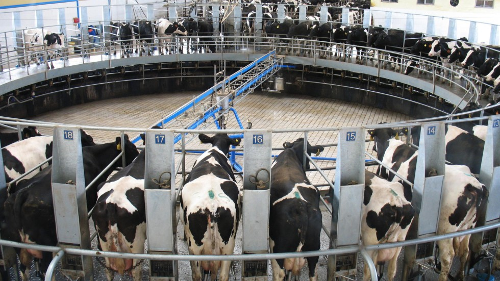 China S Dairy Firms Bulk Up With Milk Shortage Set To