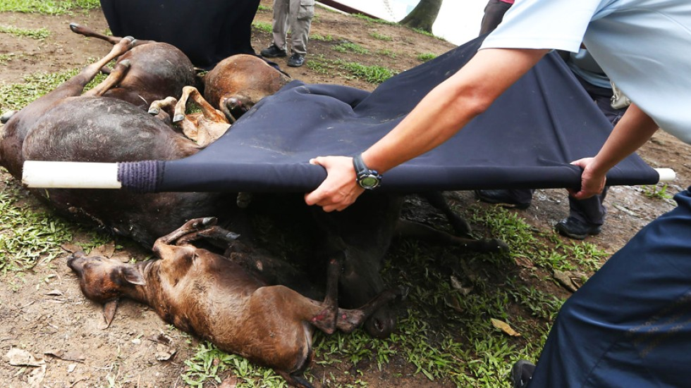 Injured cows left lying at Lantau roadside for six hours after being ...