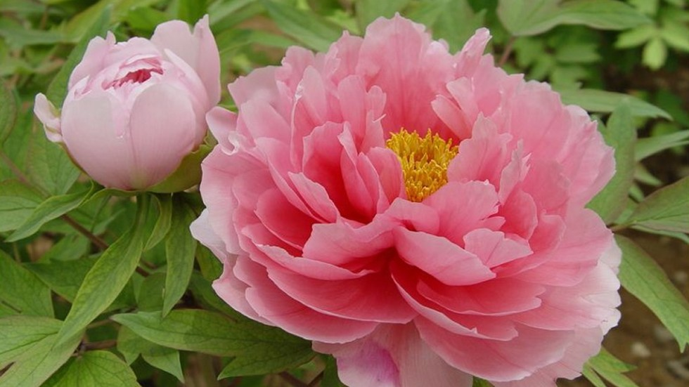 genetic forebears of tree peony king of flowers nearly extinct