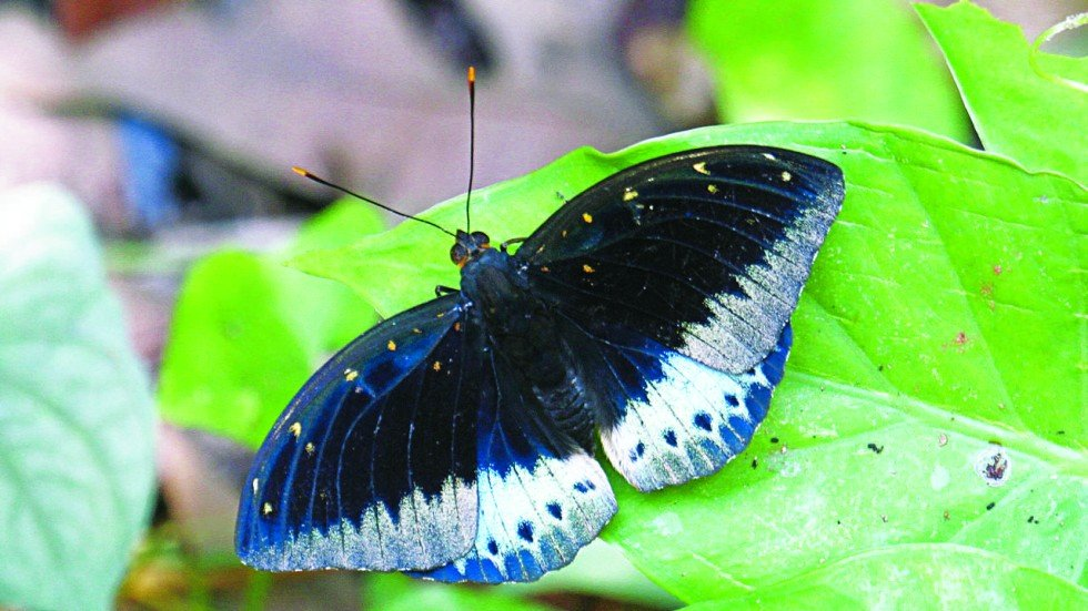thriving in lantau island two butterfly species new to hk south