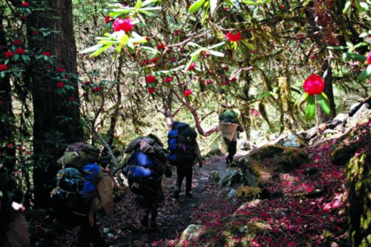 Hikers pass through a rhododendron forest in Nepal.