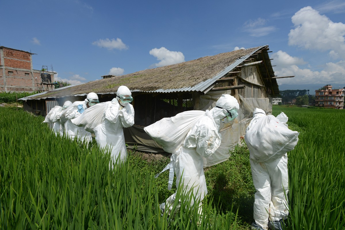 Health workers carry away bags containing dead chickens during a culling operation near Kathmandu, Nepal, in August.