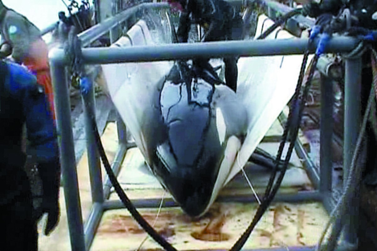 A screen grab shows a killer whale being brought aboard by Russian captors in 2003. The orca was sent to an aquarium on the Black Sea where she died 13 days later.