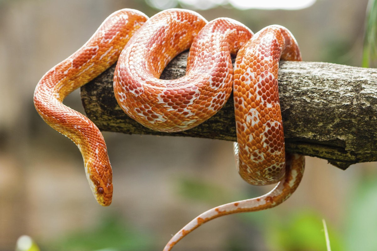 Corn snakes can be fed on chicks and small lizards. Photos: Thinkstock