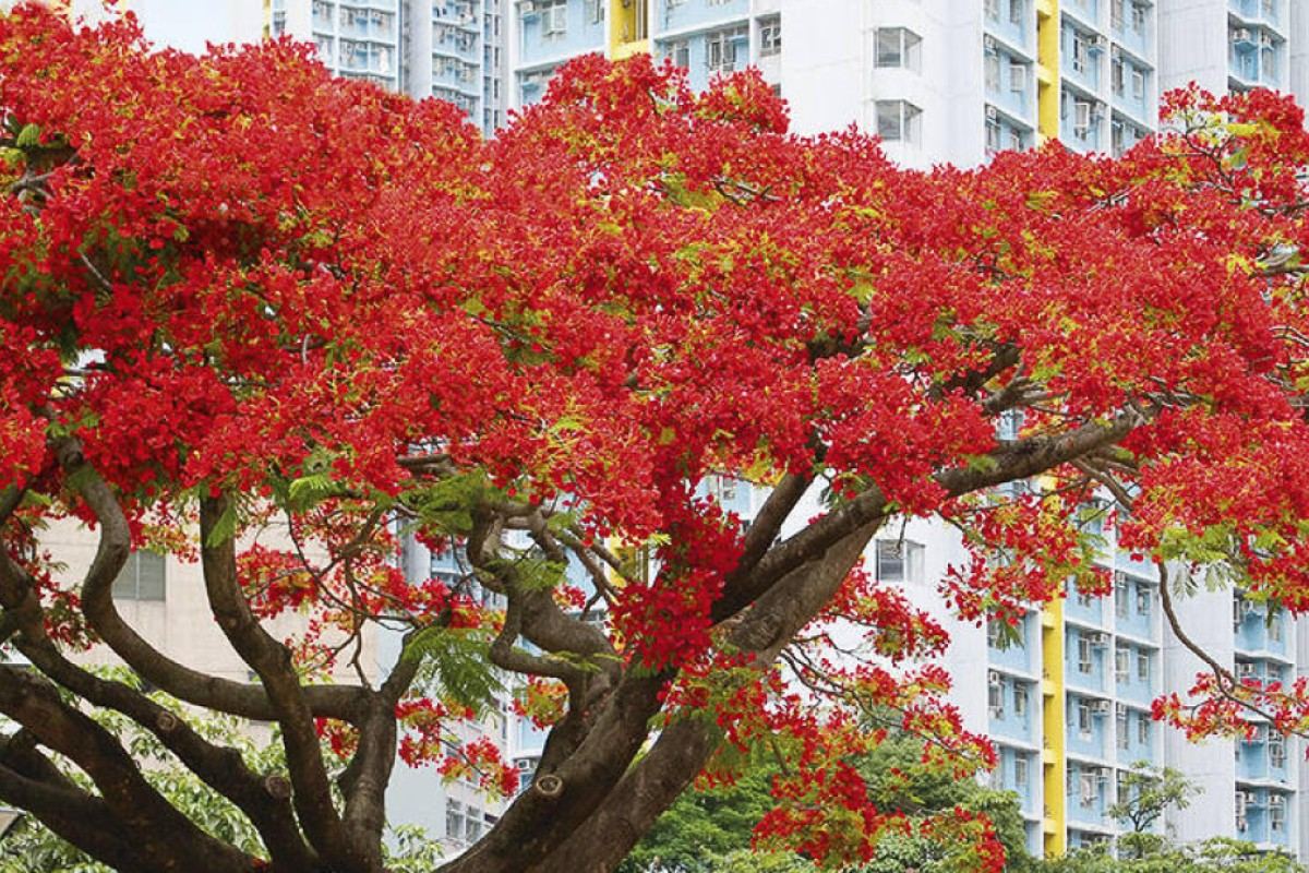 The red blossoms of the flame of the forest tree have brought a springtime burst of colour to Hong Kong's roadsides since 1908.