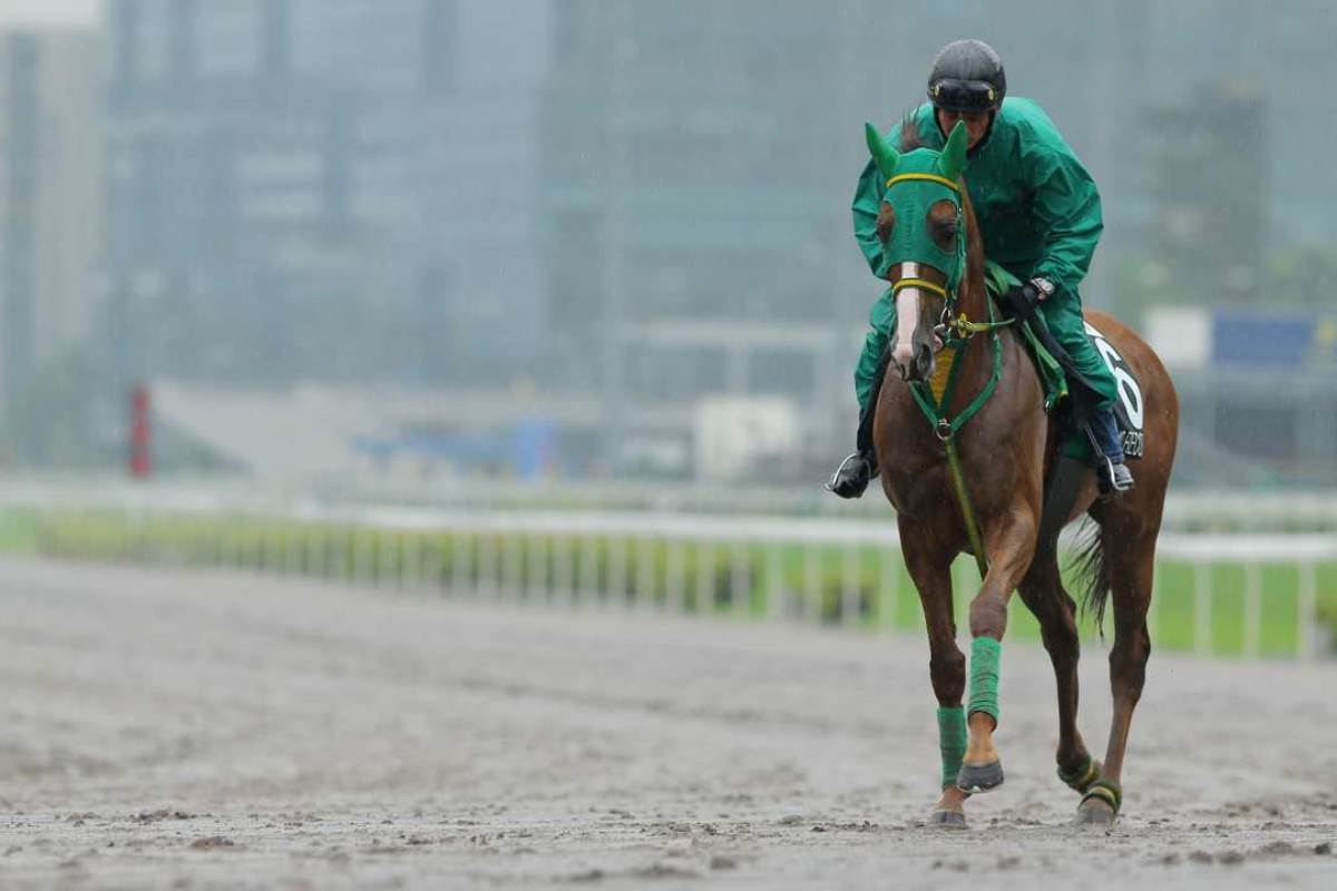 The 2016 QEII Cup runner Nuovo Record trotting on a very wet all-weather track at Sha Tin on Monday morning. Photos: Kenneth Chan