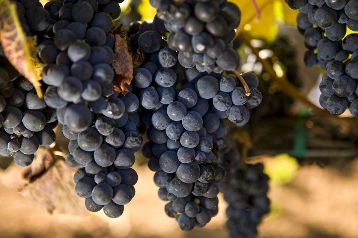 Pinot noir grapes from California.