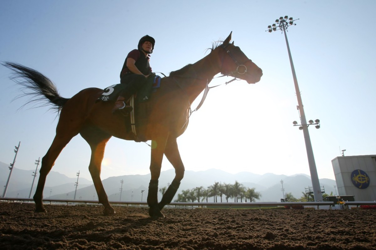 Ascot Gold Cup contender Big Orange walks back to his stable after galloping at Sha Tin in December. Photo: Kenneth Chan
