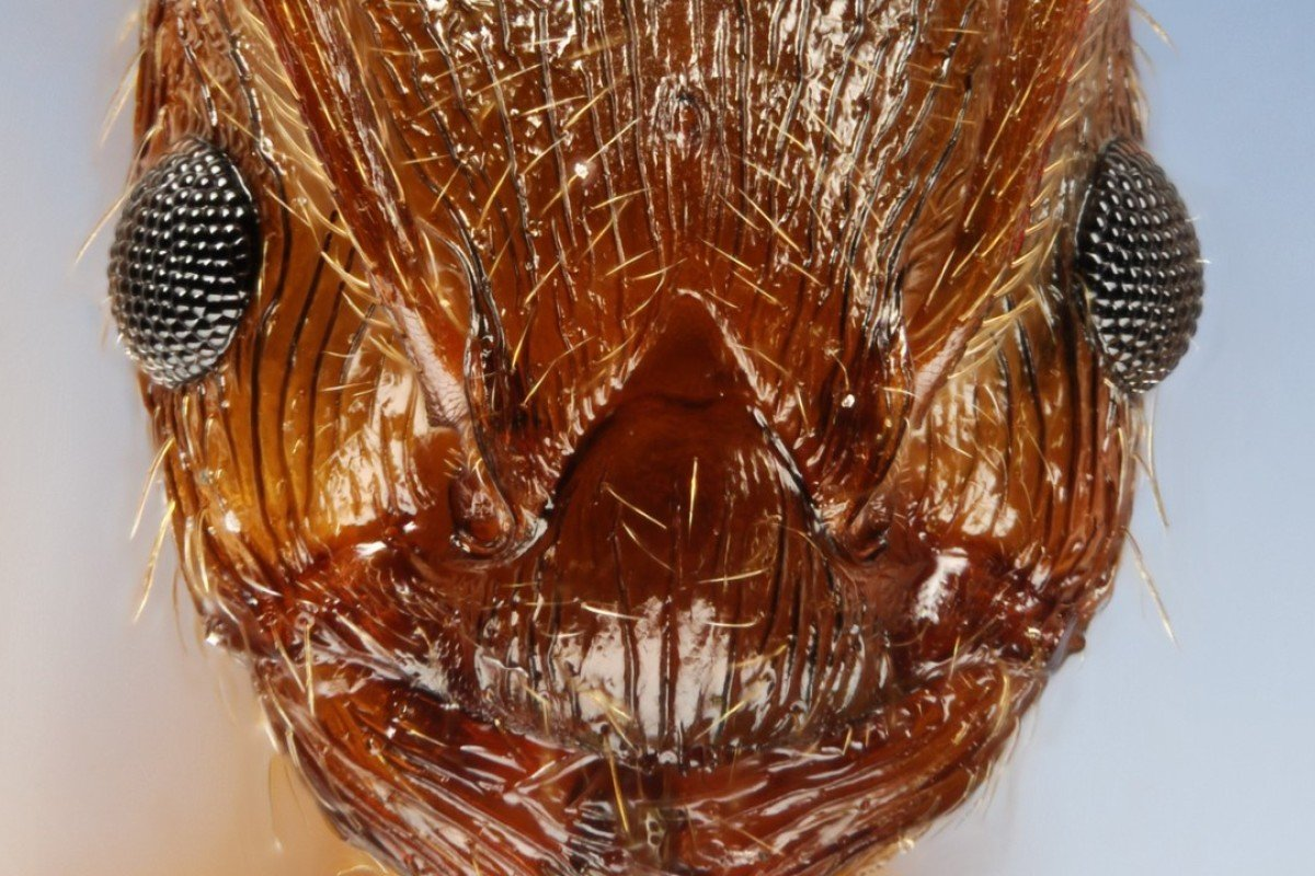 A close-up of the head of a fire ant. Photo: Corbis