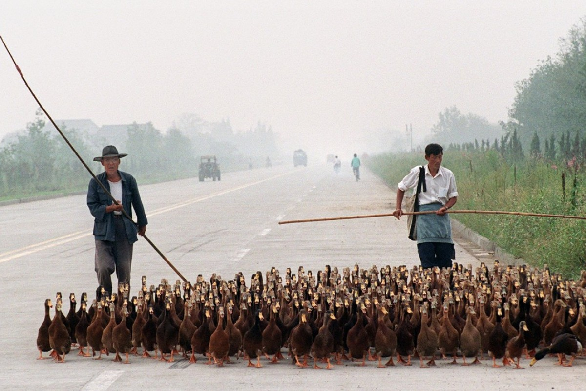 They could be film stars: ducks on a highway in Yangzhou, China. File Photo