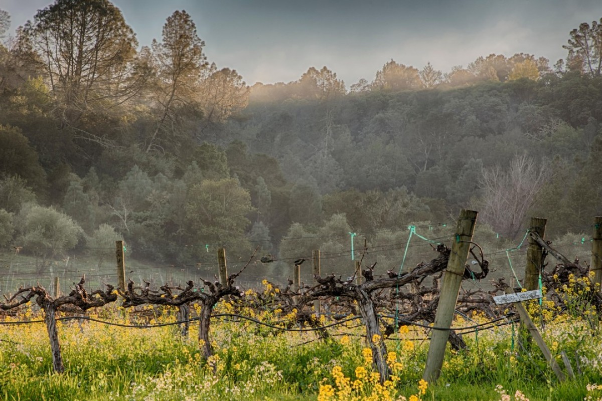 Old cabernet sauvignon vines in California. Pictures: Alamy
