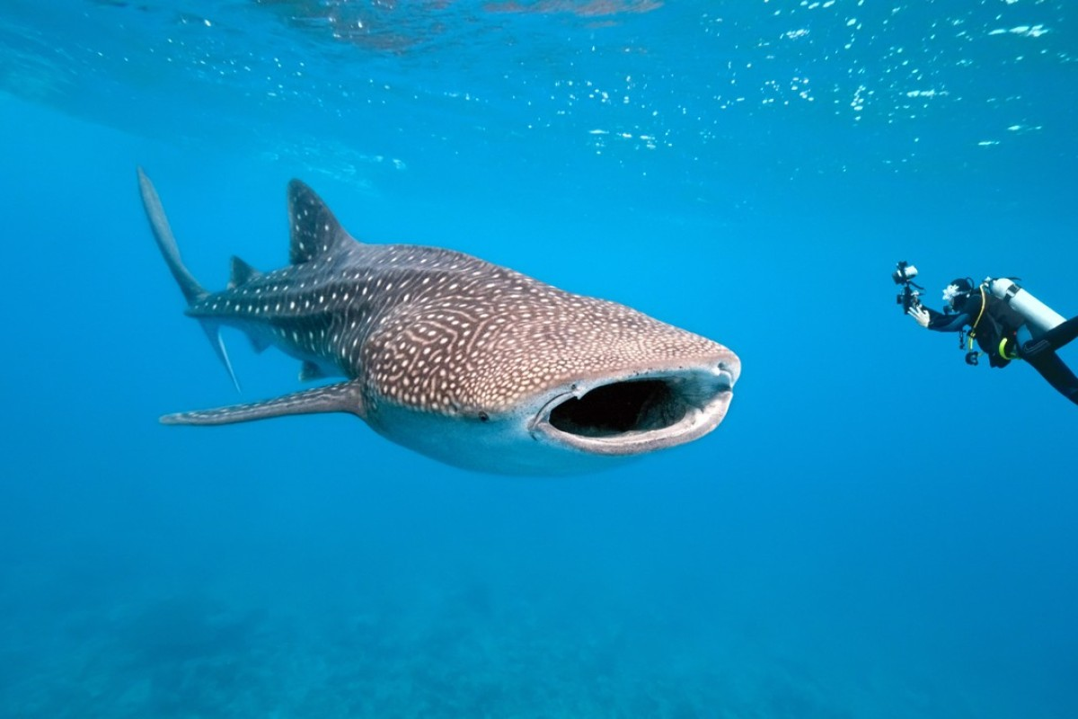 A diver's paradise, the Raja Ampat Islands' rich marine environment is home to whale sharks.
