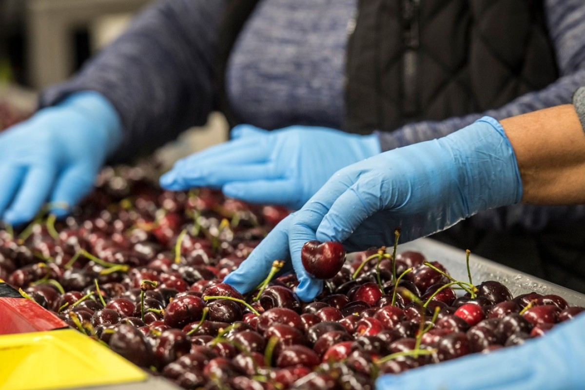 Workers sort cherries in Lodi, California. Renewed trade-related tensions with China have worried farmers across California. Photo: Bloomberg