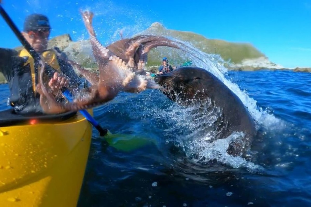 Kayaker Kyle Mulinder is slapped in the face with an octopus by a seal in Kaikoura, New Zealand. Photo: Instagram/taiyomasuda
