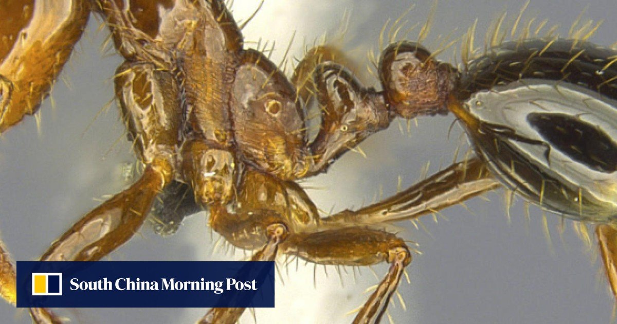 Plague of fire ants the latest Hong Kong alien invasion - and boy, do they sting