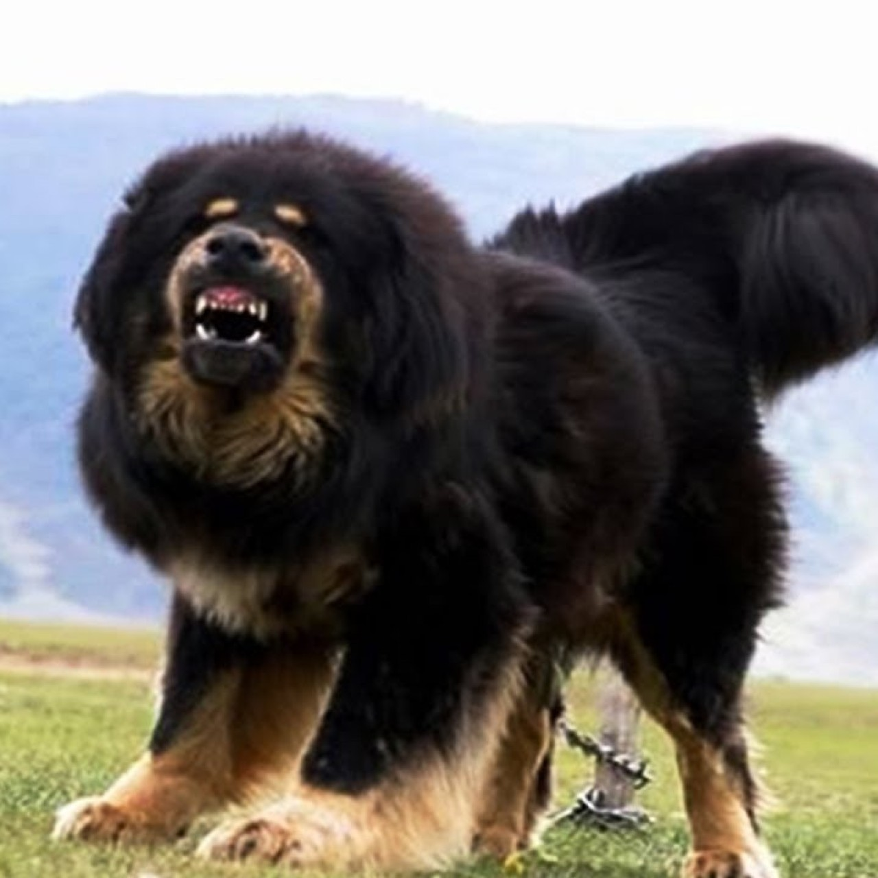Five-year-old boy savaged by Tibetan mastiff in China