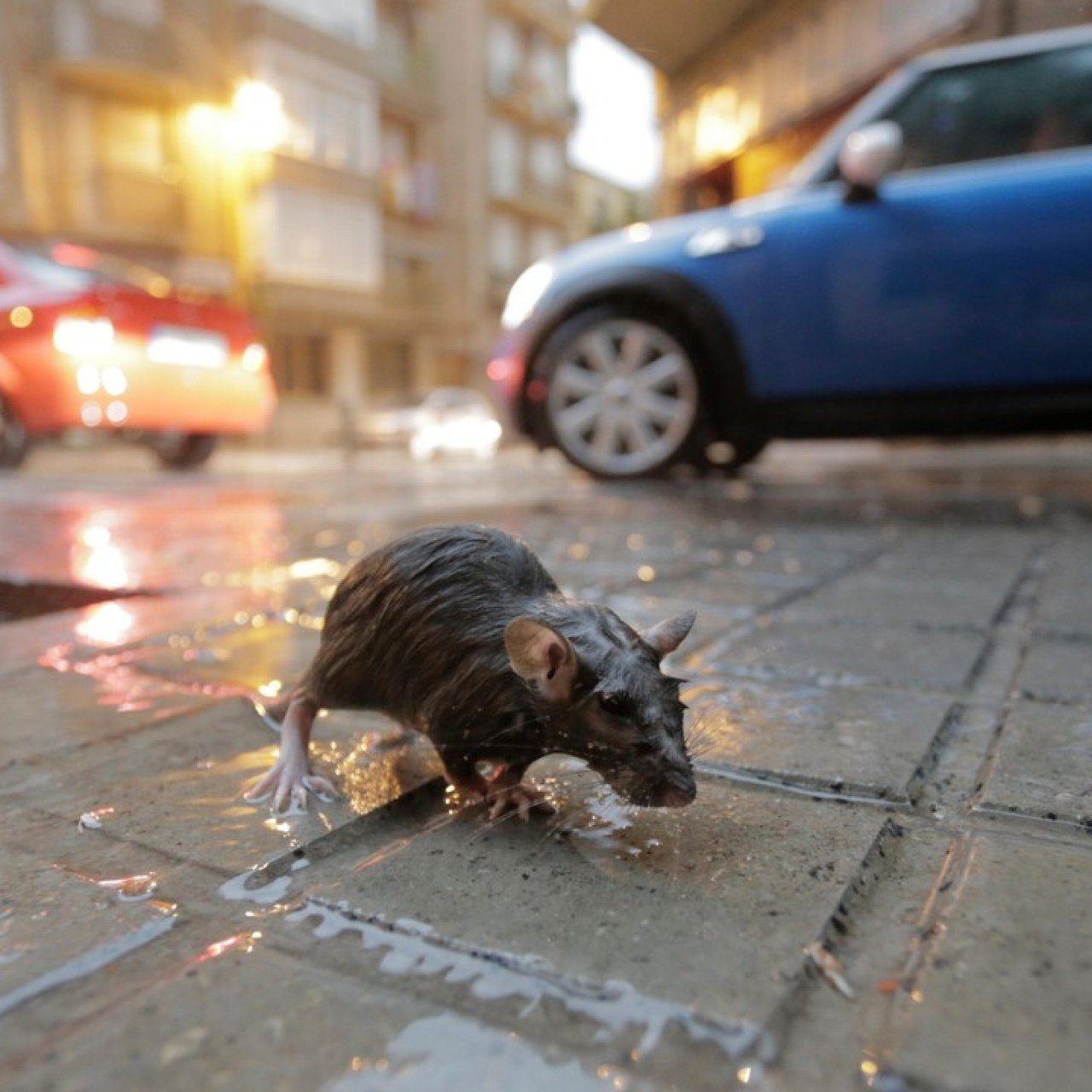 Five rat control solutions cities have used to be rid of the pests